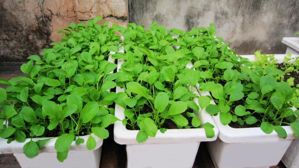 Trồng rau sạch tại nhà với chậu nhựa trồng rau TPHCM 2020